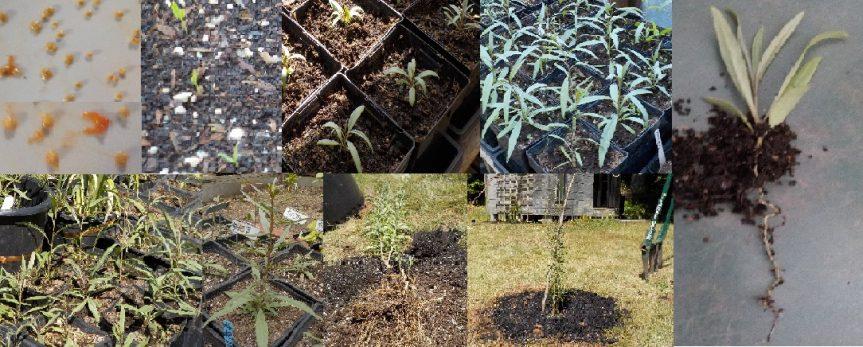 Growing 枸杞 [gǒuqǐ]
