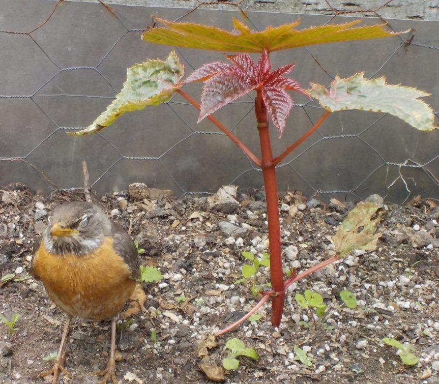 蓖麻 [bìmá] castor plant: bean, oil, leaf, root